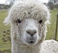 Baby Llama (5615095787).jpg