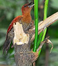 Banded Woodpecker.jpg