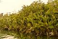 Bangladeshi Nipa Palm in the Sundarbans.jpg