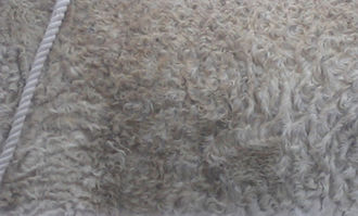 Curly Horse - Characteristic winter coat of a Curly