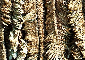 Cultivation of tobacco - Basma leaves drying in the sun at Pomak village of Xanthi, Greece