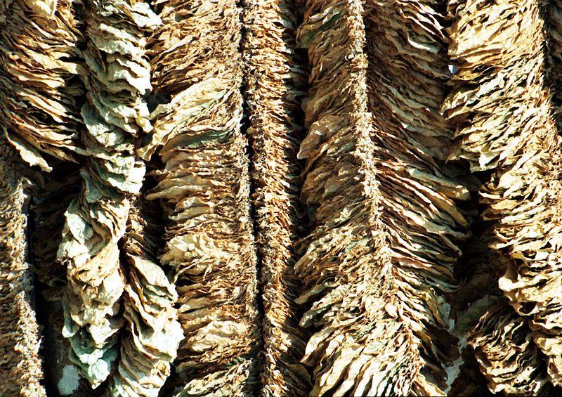 Basma-tobacco-drying.jpg
