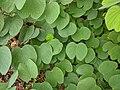 Bauhinia purpurea 27.jpg