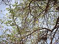 Bauhinia racemosa (6904613876).jpg