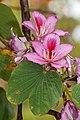 Bauhinia variegata - Jardim Botânico da Madeira 01.jpg