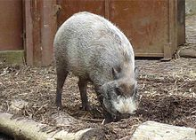 Bearded Pig lowpx.jpg