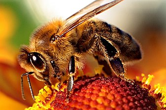 Image result for honey bee