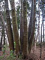 Beech tree with a multitude of trunks - geograph.org.uk - 747007.jpg