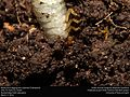Beetle larva digging into substrate (Coleoptera) (25713019555).jpg