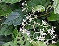 Begonia glabra Blüte.jpg