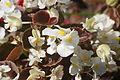 Begonia semperflorens 2.JPG