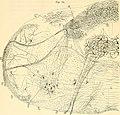 Beitrag zum Studium der Medulla Oblongata, des Kleinhirns und des Ursprungs der Gehirnnerven (1896) (14578960027).jpg