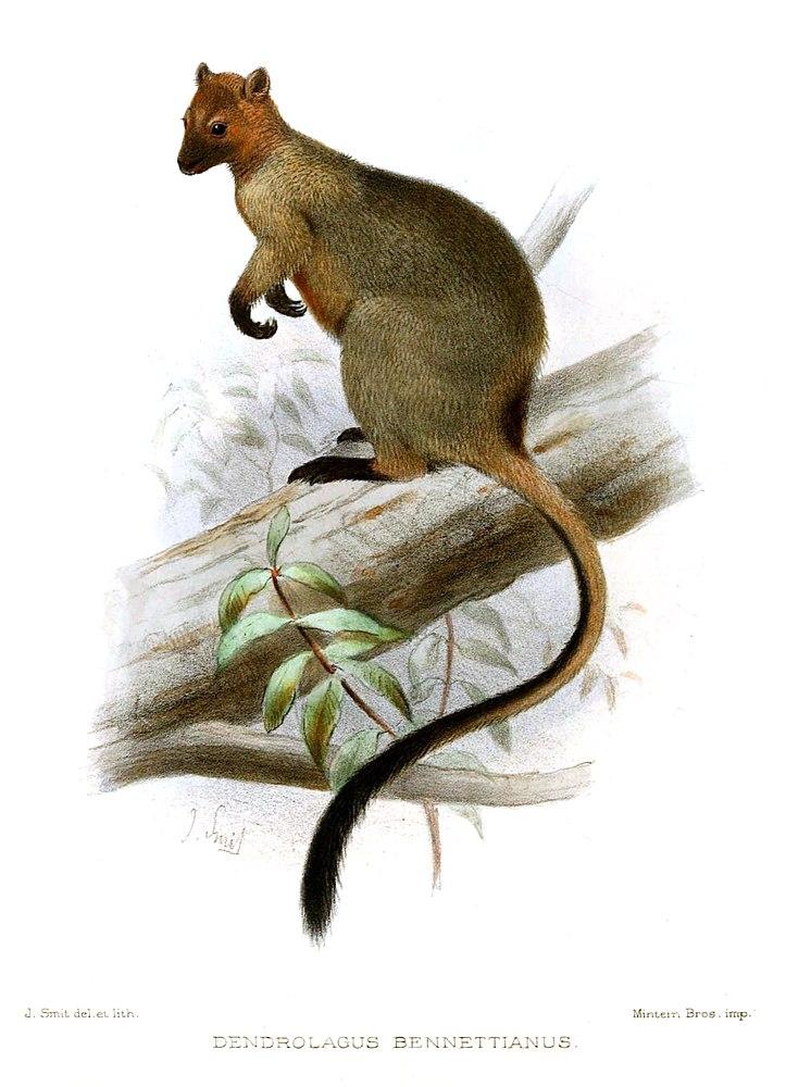 The average litter size of a Bennett's tree-kangaroo is 1