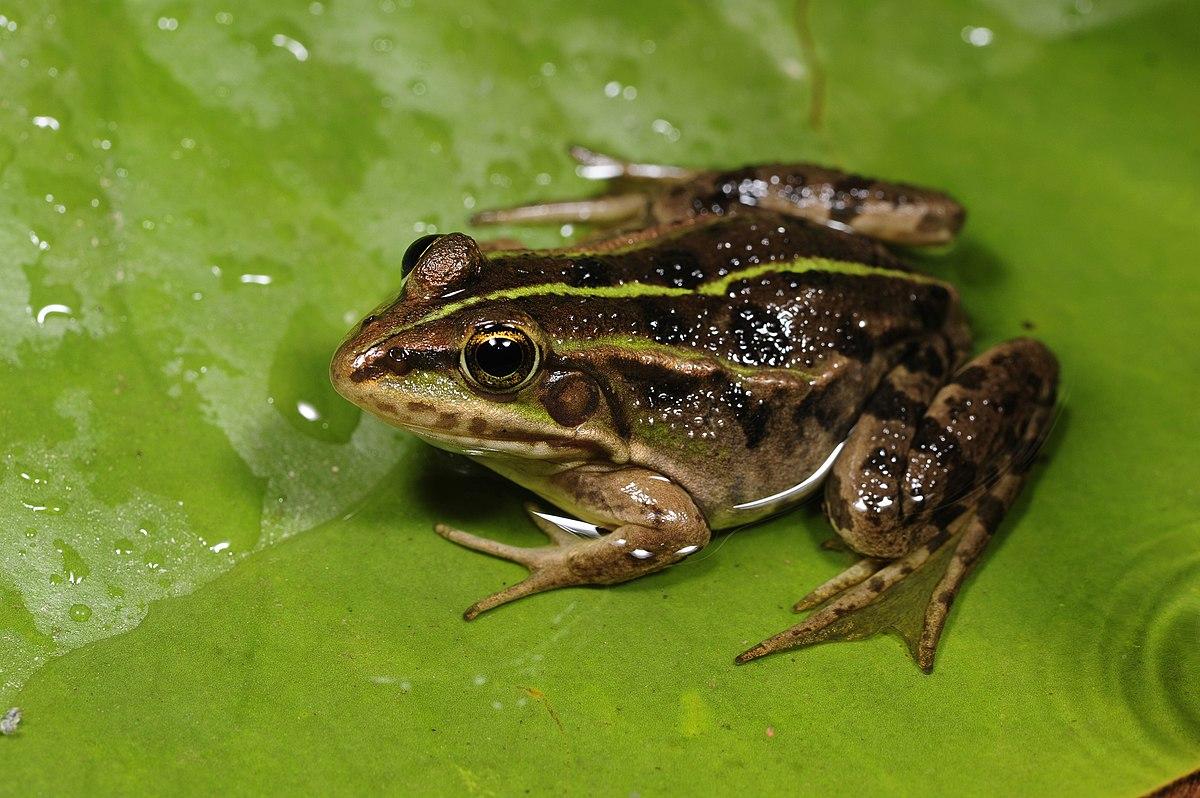 Albanian water frog wikipedia for H2o wikipedia