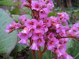 Perennial flowers the foundation of every great garden bergenia cordifolia flower mightylinksfo