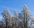 Berijpte wilgen (Salix) tegen de vrieslucht. Locatie, Natuurterrein De Famberhorst 02.jpg