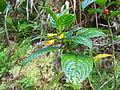 Besleria lutea-La Soufrière-Guadeloupe.JPG