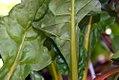 Beta vulgaris cicla 1zz.jpg
