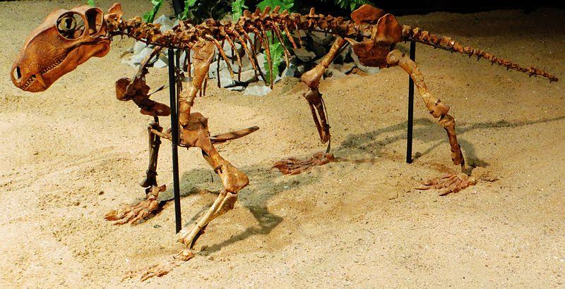 File:Biarmosuchus tener skeleton 234.JPG