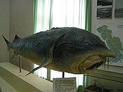 Bieługa - ryba.jpg