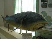 Bieługa - ryba