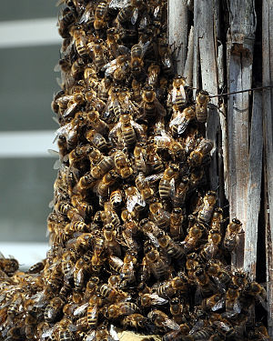 Swarm of bees