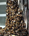 Bienenschwarm-Zuerich-Detail.jpg