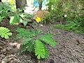 Biophytum sensitivum-little tree plant, life plant, മുക്കുറ്റി (mukkutti) 2.jpg