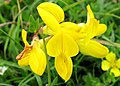 Bird's foot trefoil.jpg
