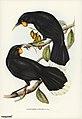 Bird illustration by Elizabeth Gould for Birds of Australia, digitally enhanced from rawpixel's own facsimile book256.jpg