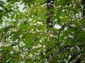 Bitter Oleander (4780333754).jpg