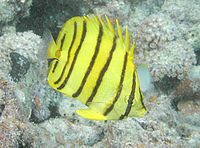 Black-Stripe Butterflyfish