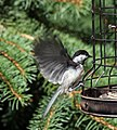 Black-capped chickadee flapping its wings to balance on cage.jpg