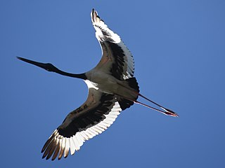 Black-necked Stork Corbett India Dec19 D72 12989.jpg
