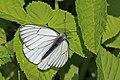 Black-veined white (Aporia crataegi).jpg
