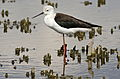 Black-winged Stilt, Common Stilt, or Pied Stilt, Himantopus himantopus at Marievale Nature Reserve, Gauteng, South Africa (23416189621).jpg