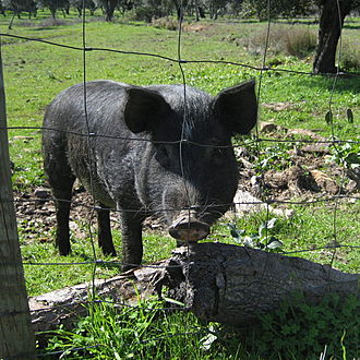 Black Iberian pig - Black pig being raised in the countryside near Évora, Alentejo, Portugal
