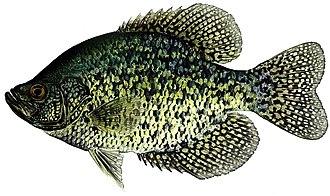 Graham Lakes (Minnesota) - Black Crappies are abundant in Graham Lakes