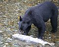 Black bear steals salmon (1751263156).jpg