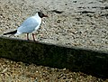 Black headed Gull - geograph.org.uk - 1350909.jpg
