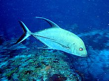 Black jack (fish) - Wikipedia