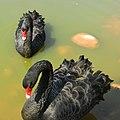 Black swans 黑天鹅 - panoramio.jpg