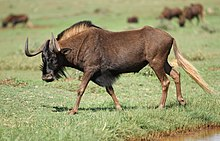Black wildebeest, or white-tailed gnu, Connochaetes gnou at Krugersdorp Game Reserve, Gauteng, South Africa (30570451563).jpg