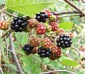 Blackberry fruits03.jpg