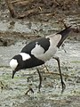 Blacksmith lapwing in Tanzania 3126 cropped Nevit.jpg