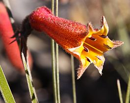 Blancoa canescens - Winter Bell-2-2.jpg