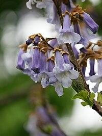Blauglockenbaum, Paulownia tomentosa 2
