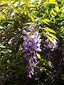 Blauregen P5143298.jpg