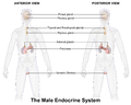 Blausen 0346 EndocrineSystem Male2.png