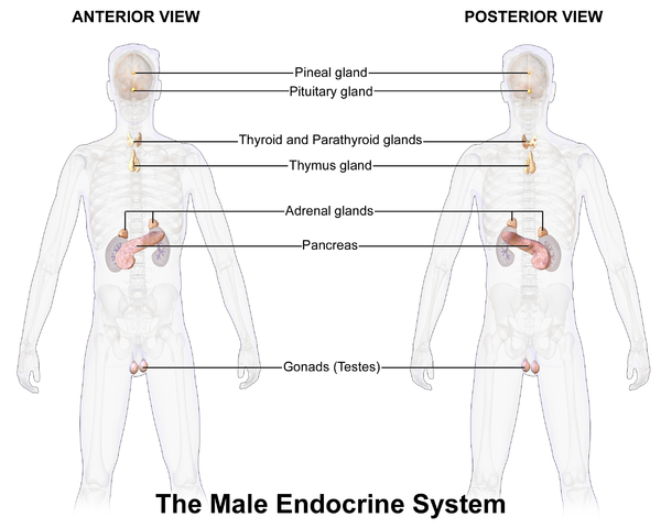 endocrine system of the rat Lab 4: endocrine system physiology the thyroidectomized rat had a lower baseline metabolic rate beause the removal of its thyroid gland prevented it from.